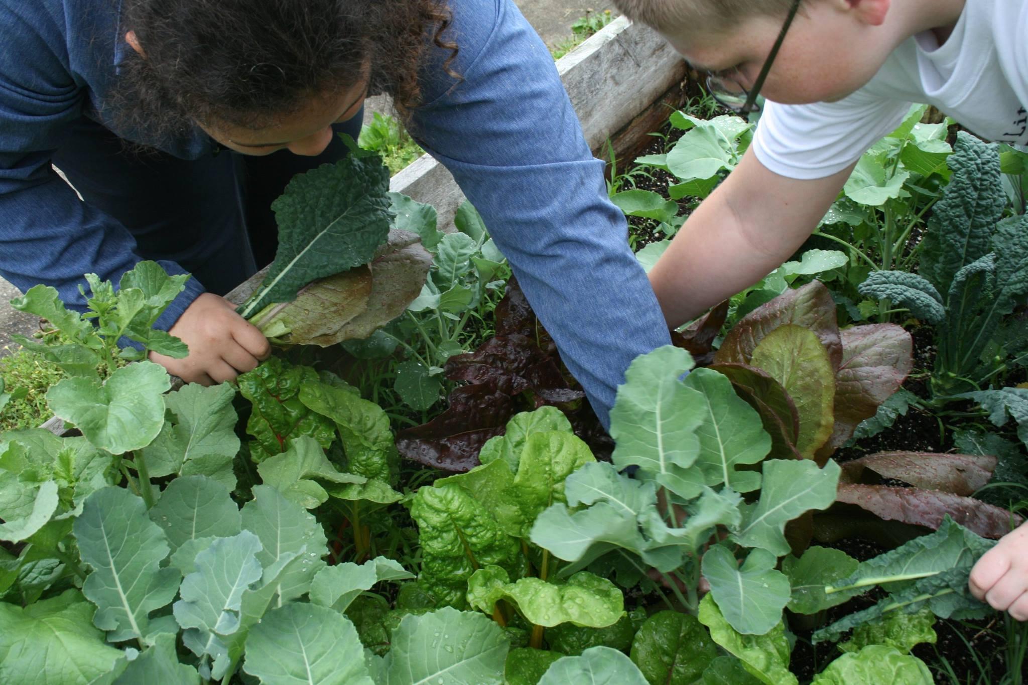 Kids harvesting in school garden.